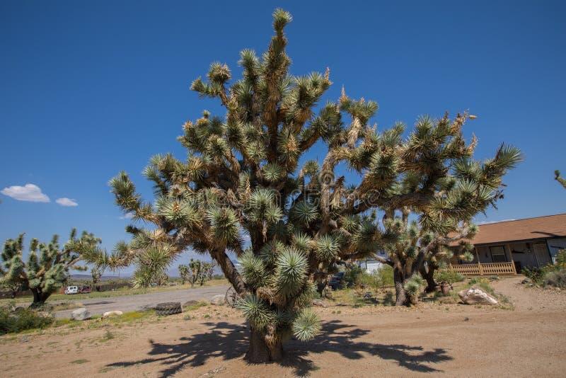 Joshua Trees In Arizona. Joshua trees stock image