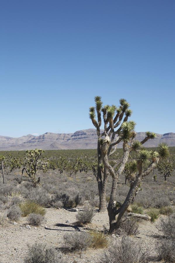 Joshua trees in Arizona stock image