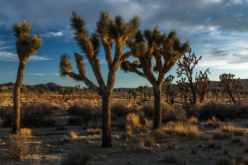Joshua Trees bei Sonnenuntergang in der Wüste lizenzfreie stockbilder