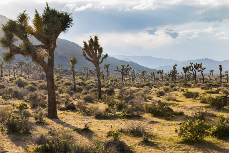 Joshua Trees che cresce nel deserto - Joshua Tree National Park, immagine stock