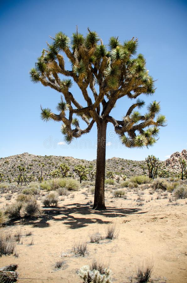 Joshua Trees en Joshua Tree National Park en California meridional en un día de verano soleado en el desierto de Mojave imagenes de archivo