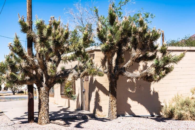 Joshua Trees i Beatty, Nevada royaltyfri foto
