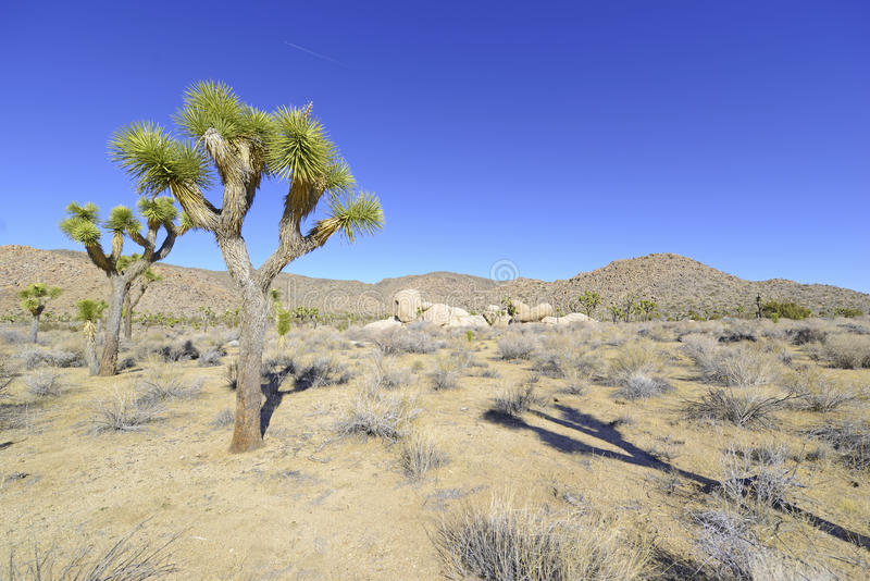 Joshua Trees i ett ökenlandskap, Kalifornien arkivfoto