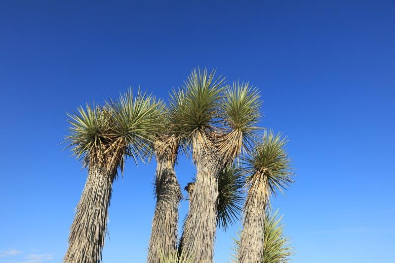 Joshua Trees i Joshua Tree National Park Kalifornien fotografering för bildbyråer