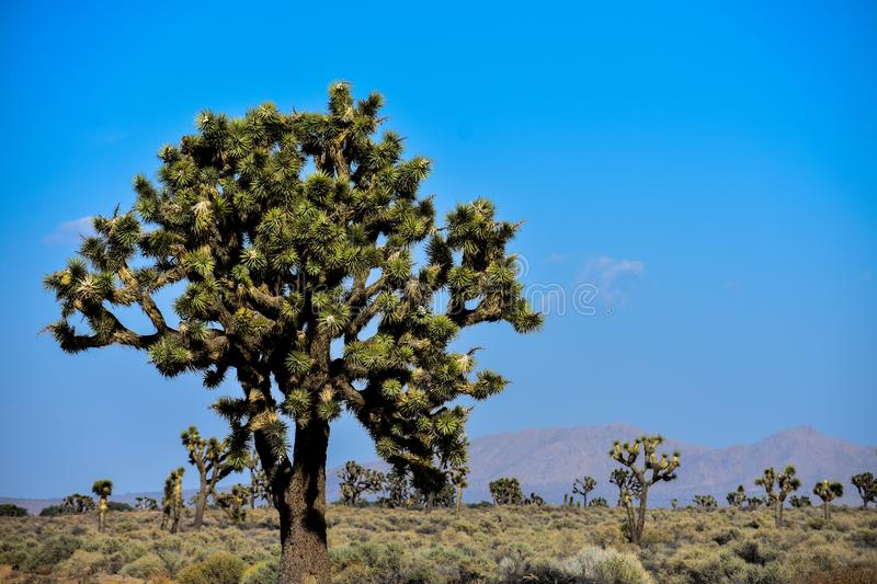 5-18-18 Joshua Trees in Lancaster, Ca. royalty free stock photo