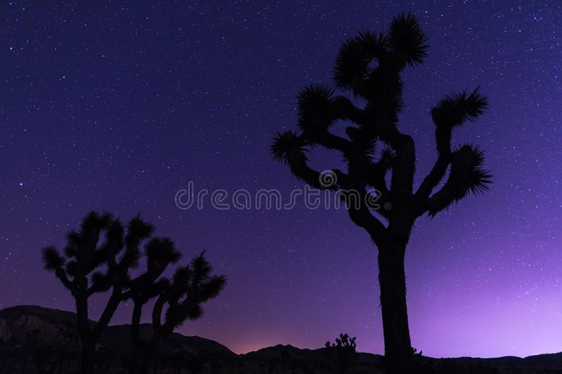 Joshua trees at night. With clean and starry sky, Joshua Tree National Park, California royalty free stock images