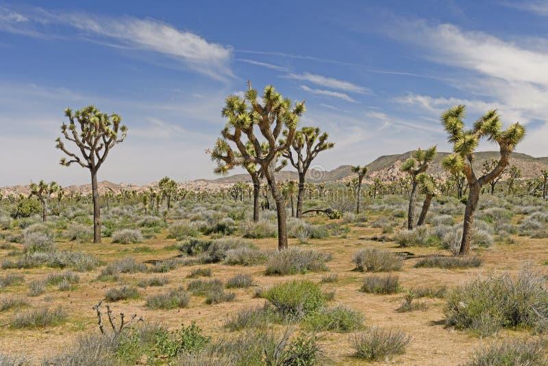 Joshua Trees sulle pianure del deserto immagini stock libere da diritti