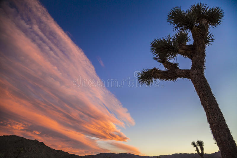Joshua Trees. royalty free stock photos