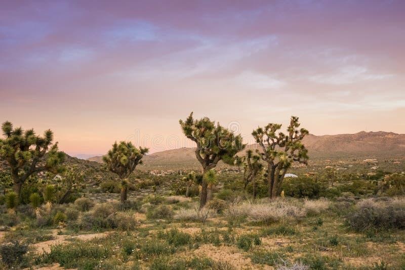 Joshua Trees Yucca Brevifolia de floraison sur un fond coloré de coucher du soleil, Joshua Tree National Park, la Californie photo libre de droits