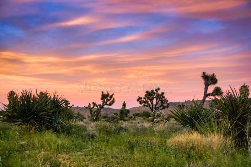 Joshua Trees Yucca Brevifolia de floraison sur un fond coloré de coucher du soleil, Joshua Tree National Park, la Californie image libre de droits