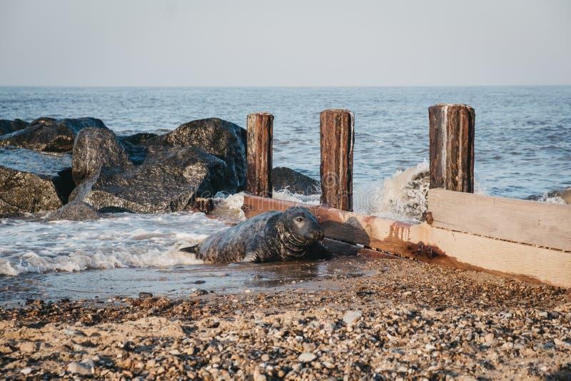 Jouer au phoque dans l'eau, lézarder sur la plage de Horsey, Norfolk, Royaume-Uni image stock