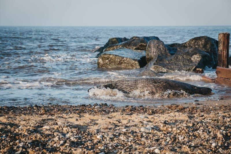 Jouer au phoque dans l'eau, lézarder sur la plage de Horsey, Norfolk, Royaume-Uni images stock