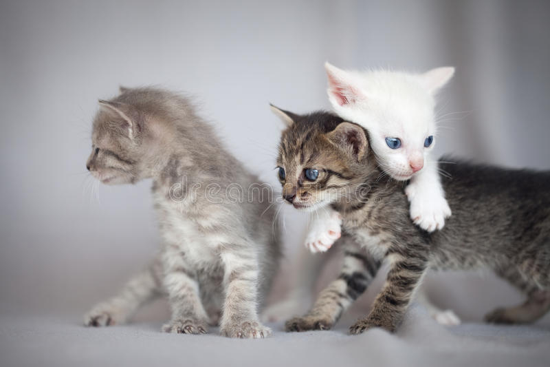 Jouer de chatons image stock