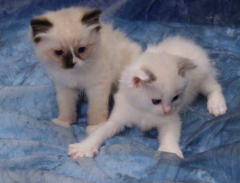Jouer de chatons de Ragdoll photo libre de droits