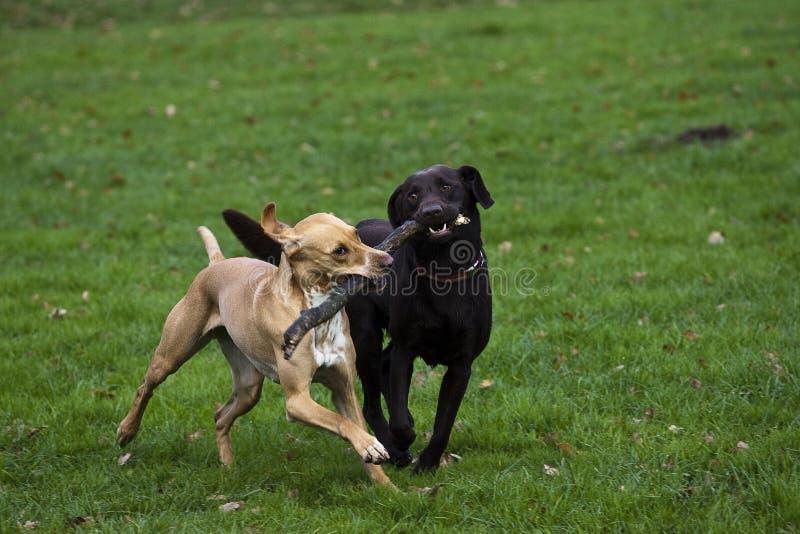 Jouer de chiens image libre de droits