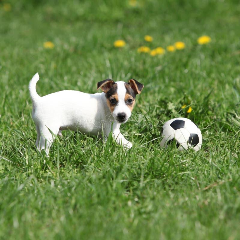 Jouer de chiot de Jack Russell Terrier image stock