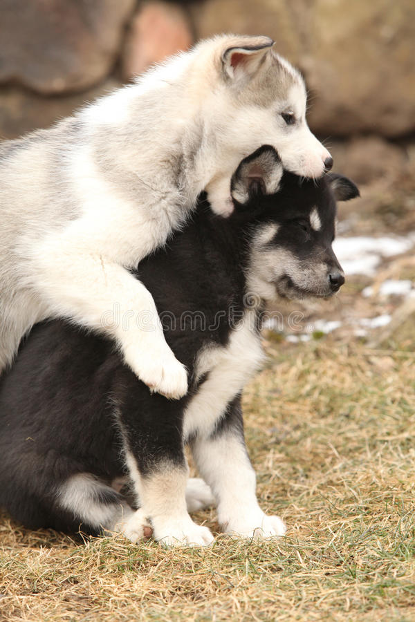 Jouer de chiots de Malamute d'Alaska photos stock