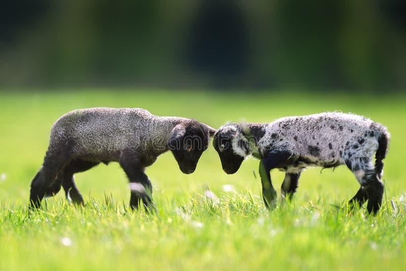 Jouer de deux agneaux photographie stock libre de droits