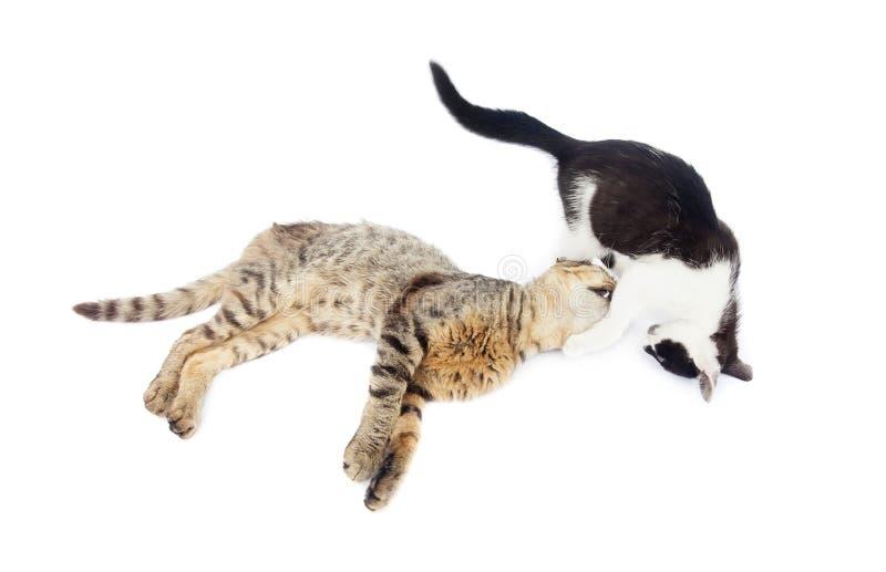 Jouer de deux chats d'isolement sur le blanc images stock