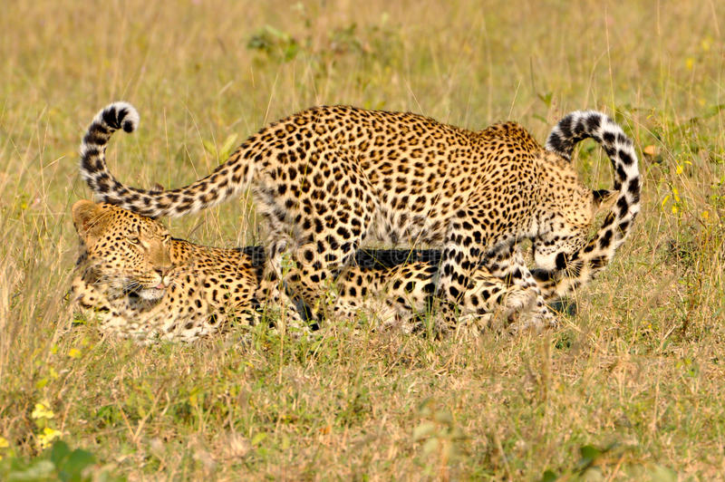 Jouer de deux léopards photographie stock