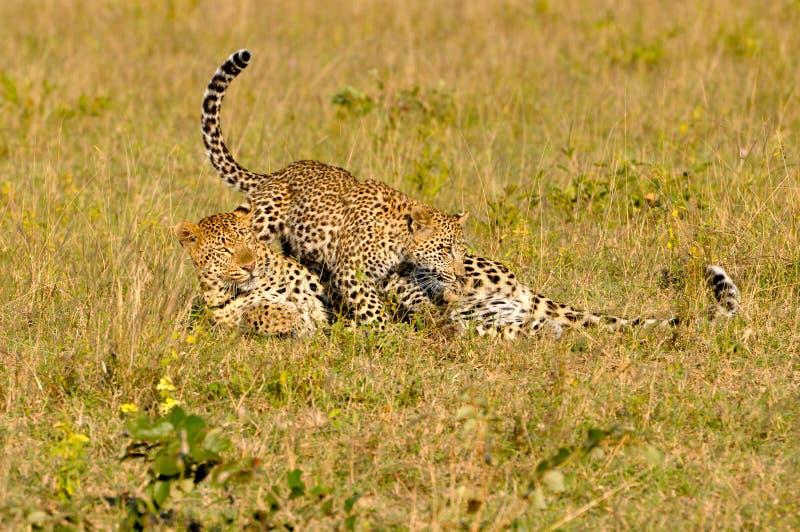 Jouer de deux léopards photo libre de droits