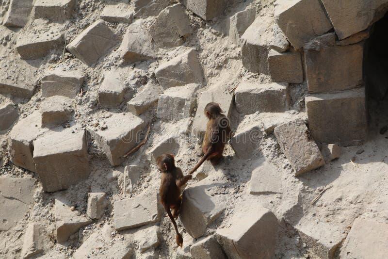 Jouer de singe photos libres de droits