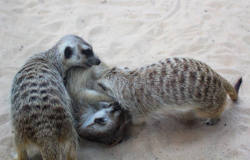 Jouer des meerkats au jardin zoologique photo stock