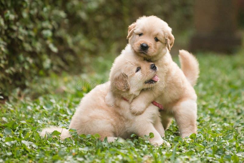 Jouer mignon de deux chiots de golden retriever photo libre de droits