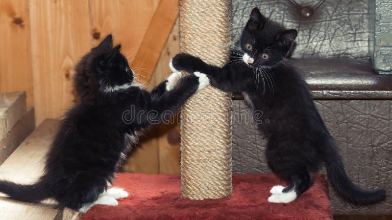 Jouer pelucheux de chatons images stock