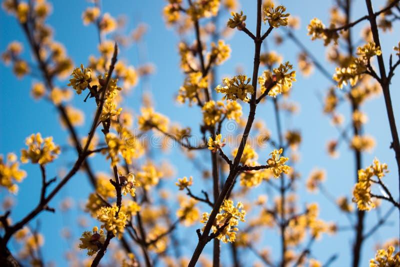 Jour de cornouiller fleurissant au printemps en temps clair images stock