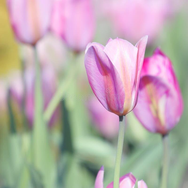 Jour de mères Tulip Card - photos courantes de nature image stock