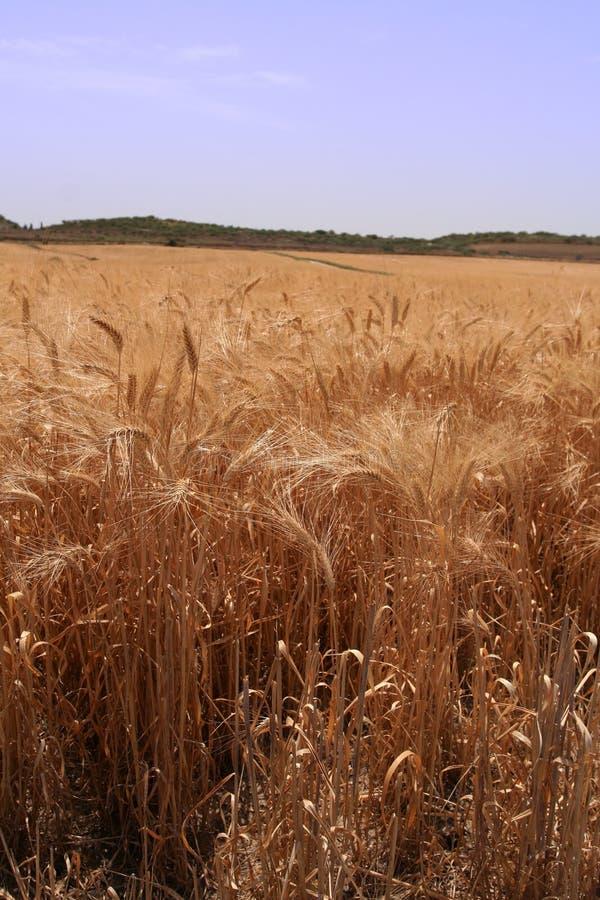 Jour ensoleillé dans un domaine de maïs images libres de droits