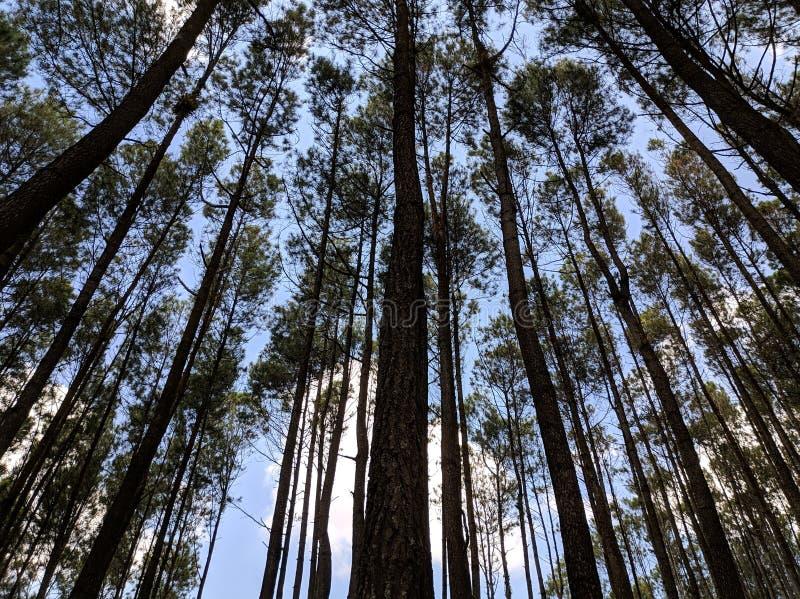 Jour ensoleillé de pins photo libre de droits