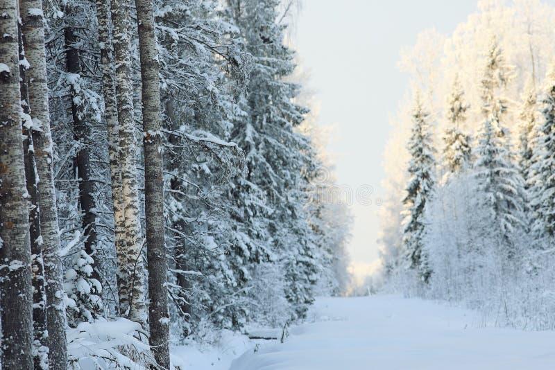 Jour froid dans la forêt de sapin photo stock