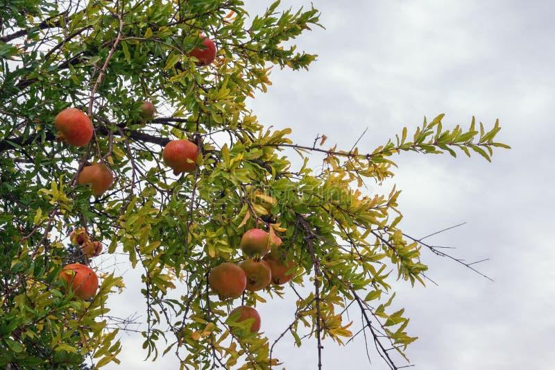 Jour nuageux d'automne Punica granatum d'arbre de grenade avec les fruits mûrs photo libre de droits
