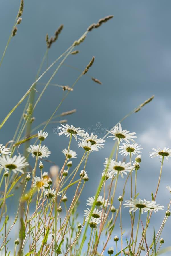 Jour pluvieux d'été Belles marguerites blanches en vent Regard par des fleurs dans le ciel bleu-foncé avec des nuages du ci-desso photographie stock