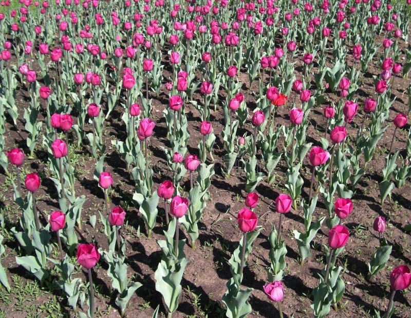 Jour rose de tulipes au printemps photo libre de droits