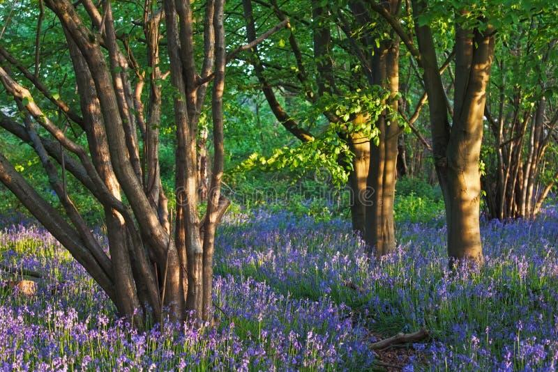 Journal par un bois de bluebell au printemps photographie stock