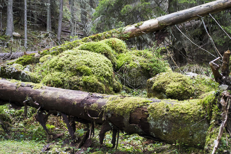 Journaler som täckas med mossa i en skog royaltyfri fotografi