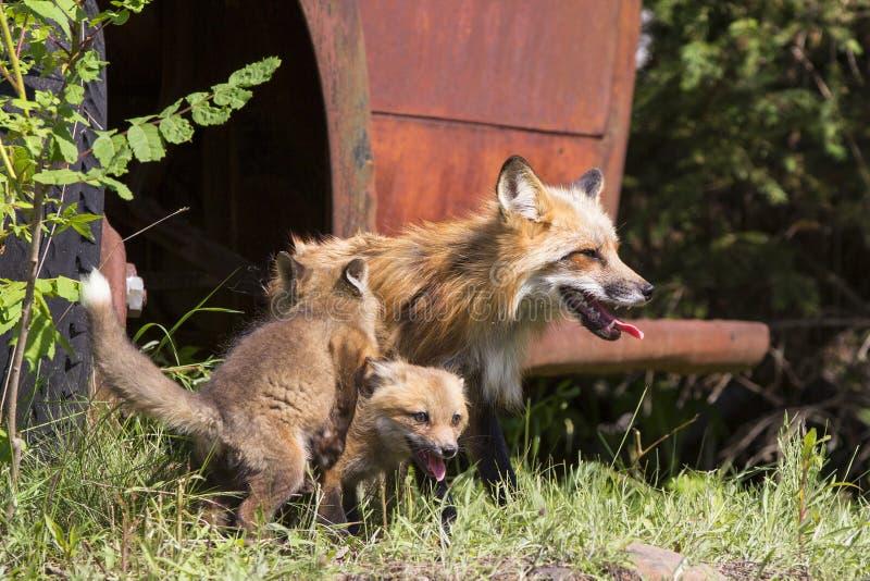Jours chauds d'été avec la famille des renards rouges photographie stock