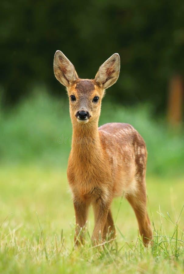 Jovem corça adorável dos cervos de ovas foto de stock royalty free