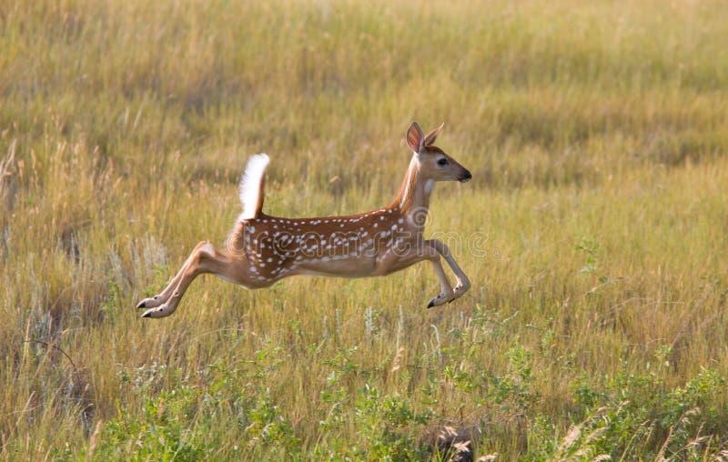 Jovem corça atada branca dos cervos que pula no campo foto de stock