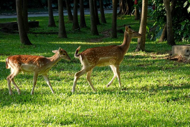 Jovem corça bonito de dois cervos de Sika fotos de stock royalty free