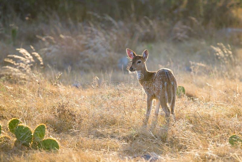 Jovem corça dos cervos da linha central imagens de stock royalty free