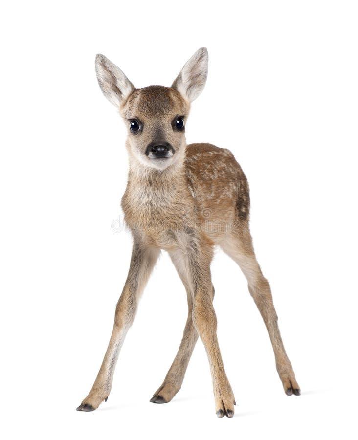 Jovem corça dos cervos das ovas na frente de um fundo branco fotografia de stock