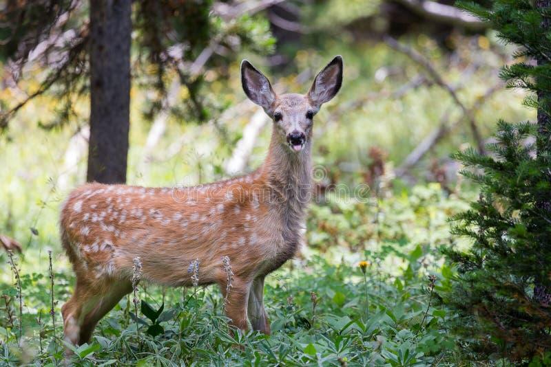 Jovem corça dos cervos de mula imagens de stock royalty free