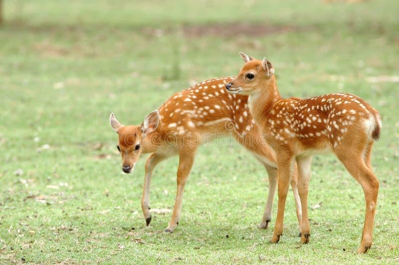 Jovem corça dos cervos de Sika foto de stock royalty free
