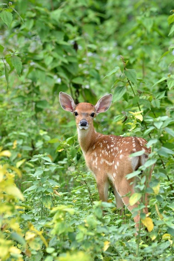 Jovem corça dos cervos de Sika imagens de stock