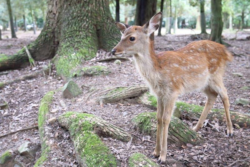 Jovem corça dos cervos de Sika fotos de stock royalty free