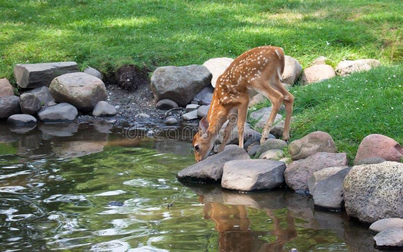 Jovem corça dos cervos de Whitetail foto de stock royalty free